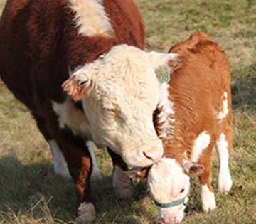 mini-hereford