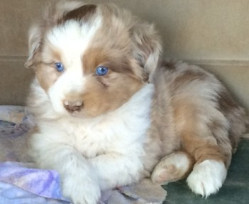 Mini Aussies - Smokey Valley Kennel - Miniature Australian Shepherds